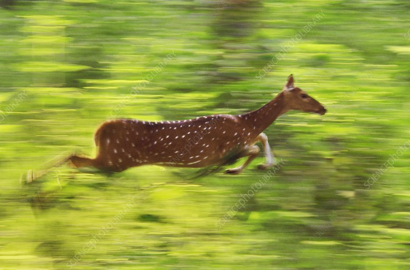 Chital running, Axis axis, India