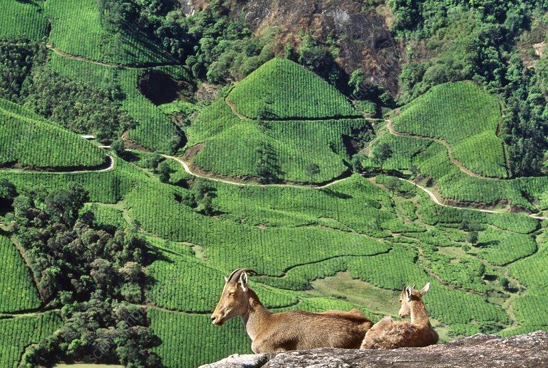 Nilgiri tahr above tea plantations, India