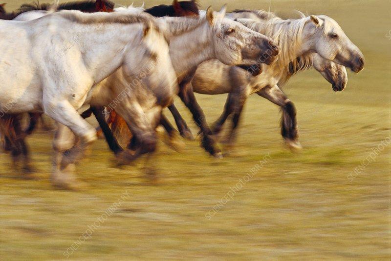 Domestic horses running, Equus caballus