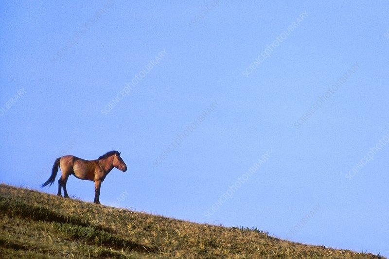 Takhi male, Equus caballus przewalskii