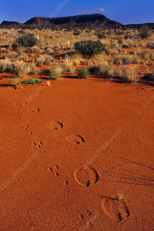 Rabbit and camel tracks, Australia