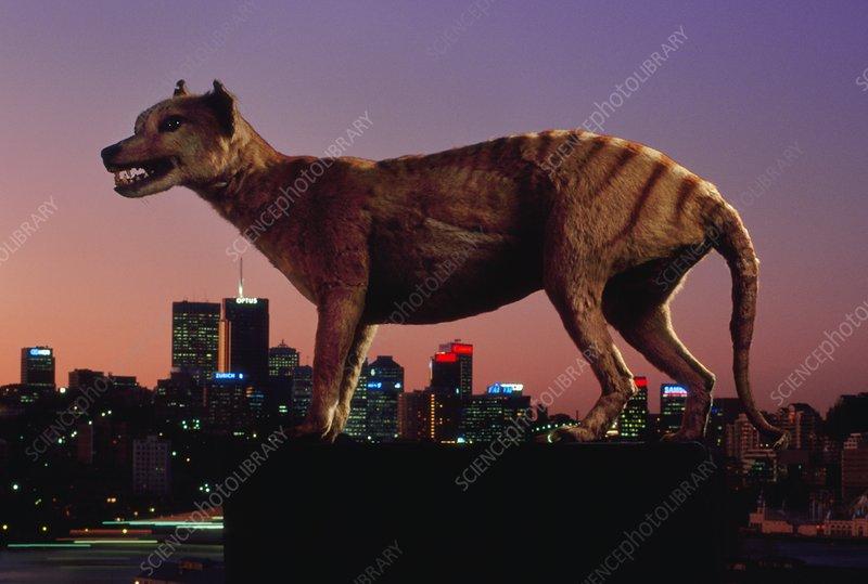 Extinct tasmanian wolf and modern skyline