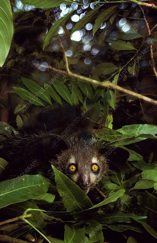 Aye-aye in tree nest, Madagascar