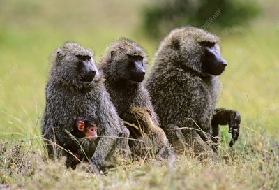 Olive baboon male and females