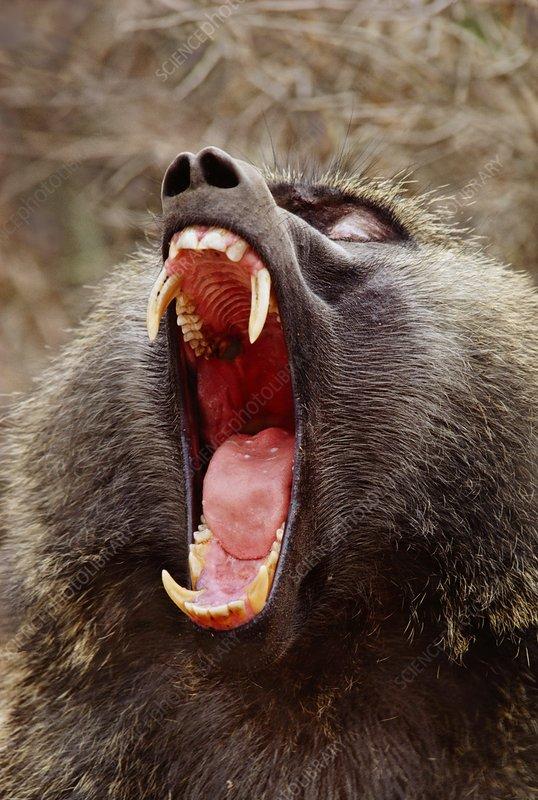 Olive baboon male yawning, Papio anubis