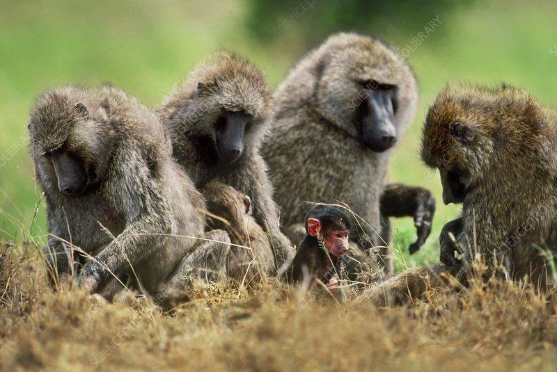 Olive baboons, Papio anubis, Botswana