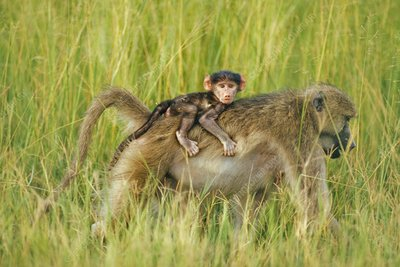 Olive baboon carrying baby on back