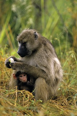 Olive baboon mother baby, Papio anubis