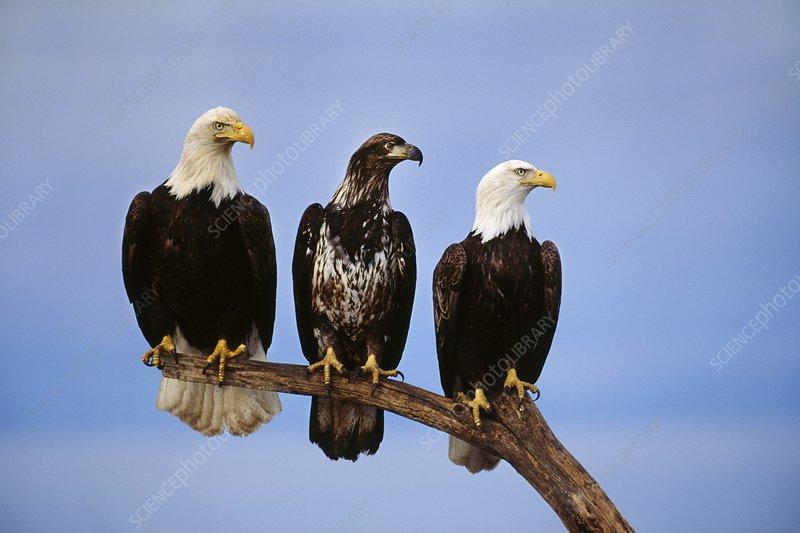 Bald eagle adults and juvenile, Alaska