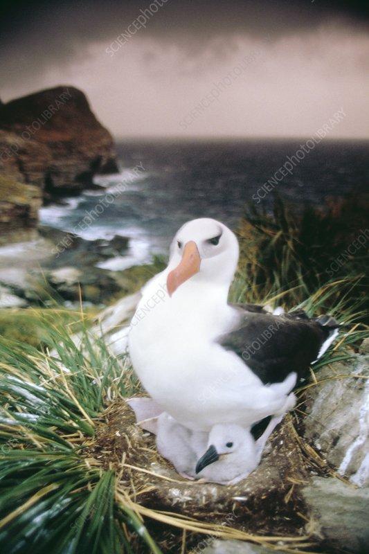 Black-browed albatross on nest
