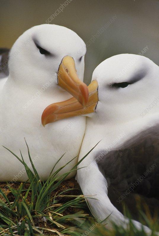 Black-browed albatrosses courting