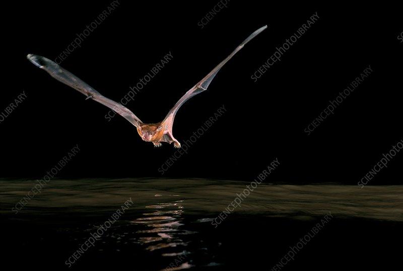 Greater bulldog bat hunting