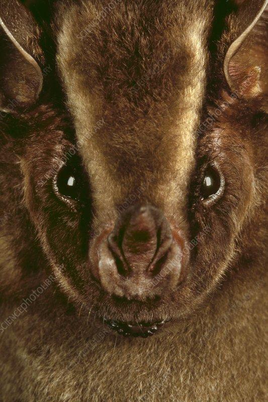 Broad-nosed bat, Platyrrhinus sp.