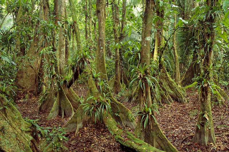 Buttressed trees, Belize