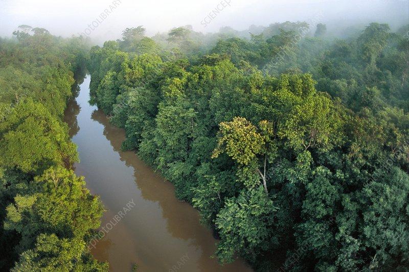 Mangrove forest along Kinabatangan River