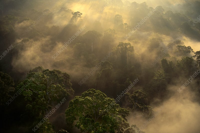 Sunrise over lowland rainforest, Borneo