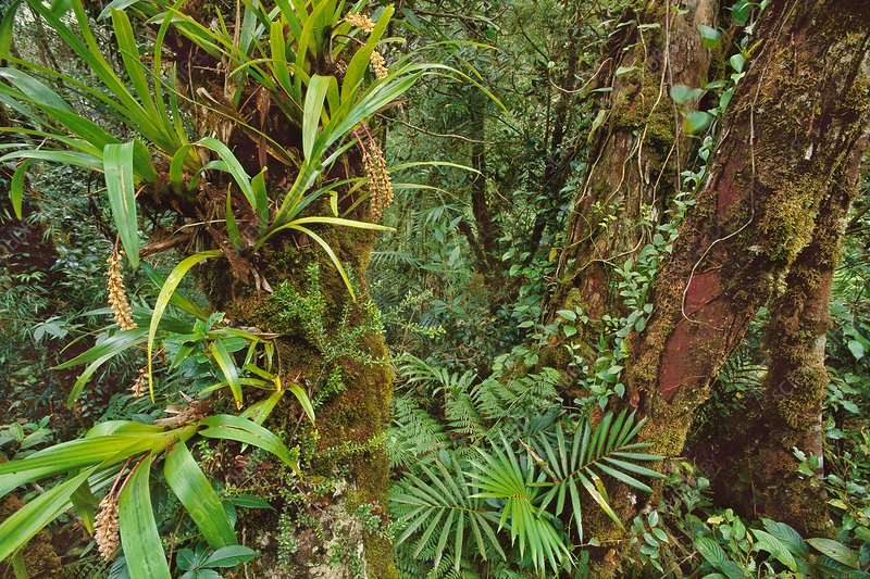 Epiphytes in cloud forest, Mt Kinabalu