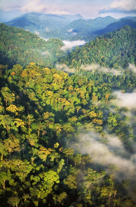 Lowland rainforest, Danum Valley, Sabah
