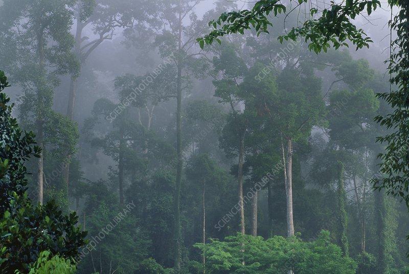 Rainforest in mist, Danum Valley