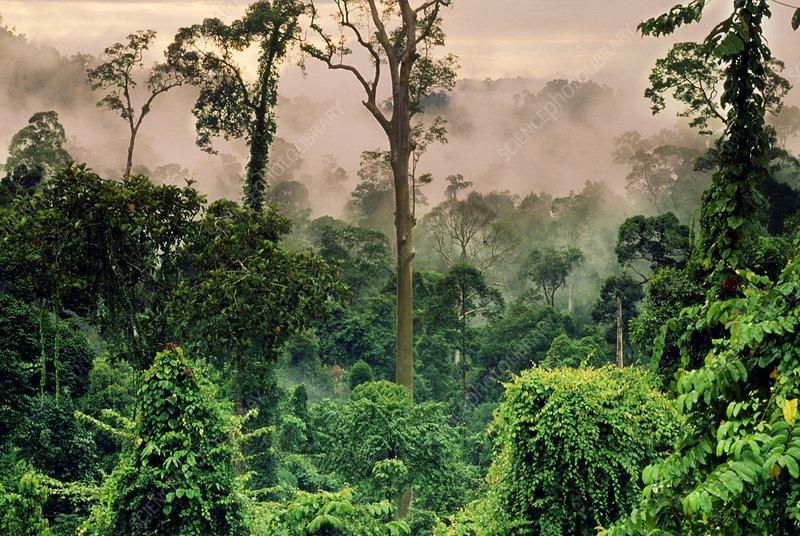 Misty rainforest, Danum Valley, Borneo