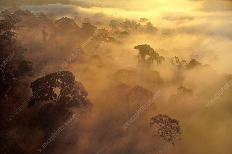 Morning mist over rainforest, Borneo
