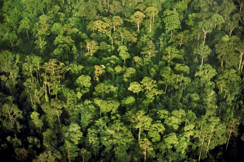 Rainforest canopy, an aerial view