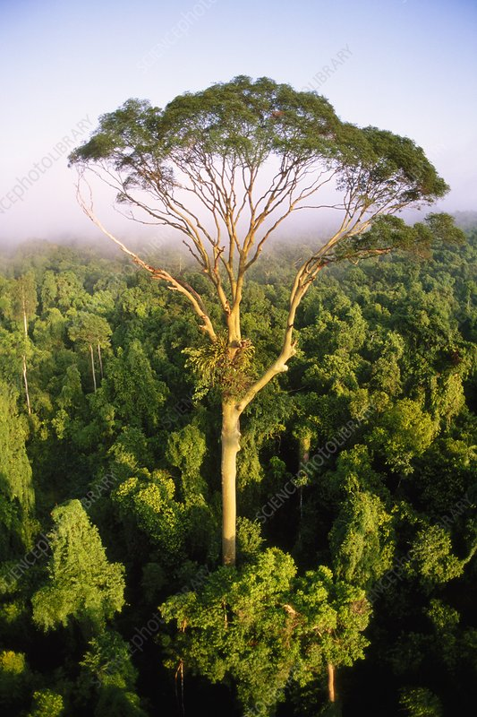 Tall tree rising above rainforest canopy - Stock Image ...