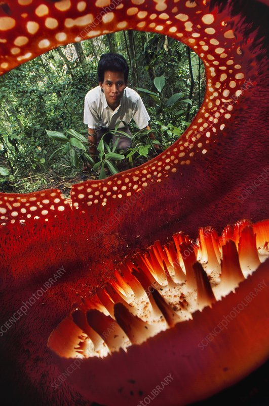 Botanist looking at Rafflesia keithii