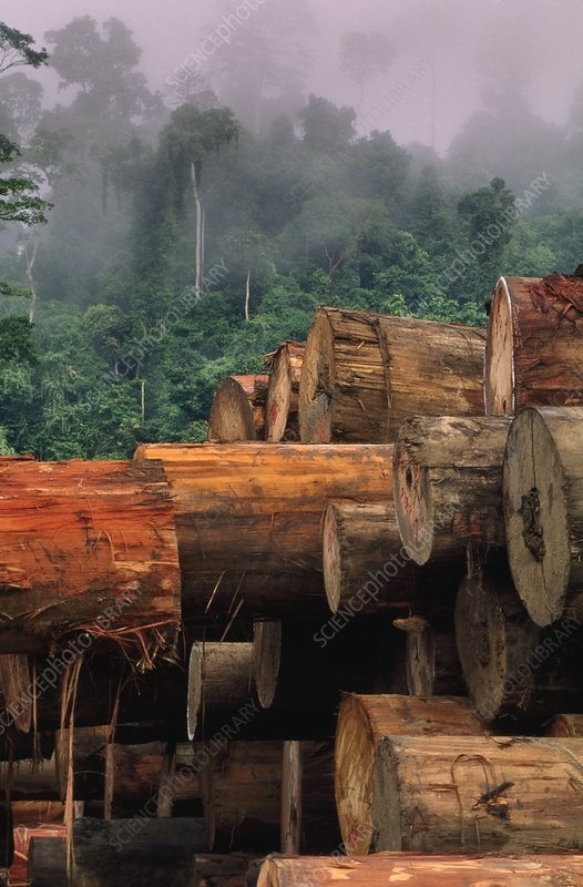Stacked logs in tropical rainforest
