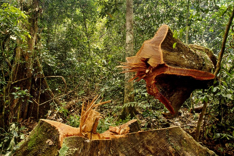 Tree cut in rainforest, Sabah, Borneo