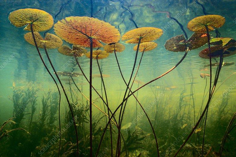 Water lilies, Nymphaea nouchali, Botswana