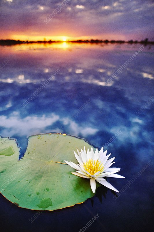 Day-blooming water lily closing at sunset