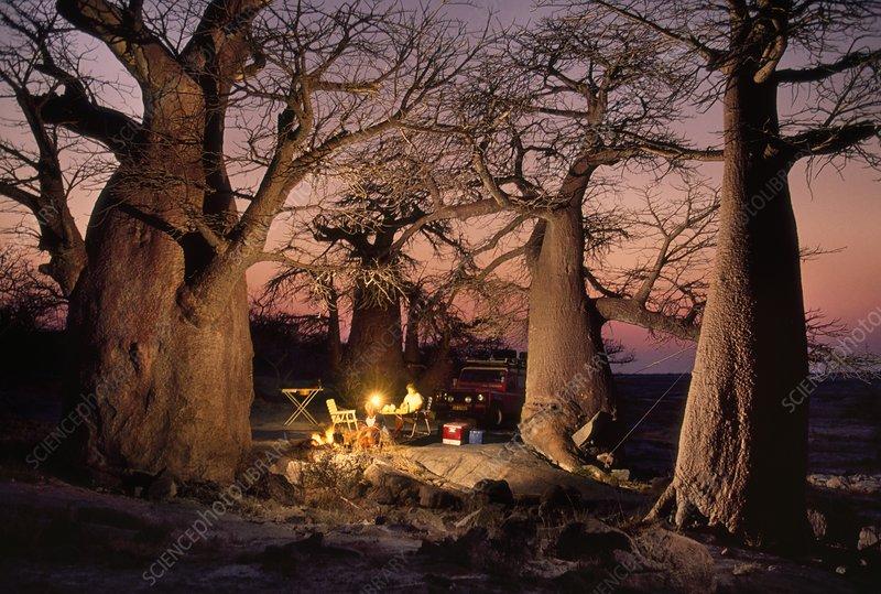 Camp among baobabs, Adansonia digitata