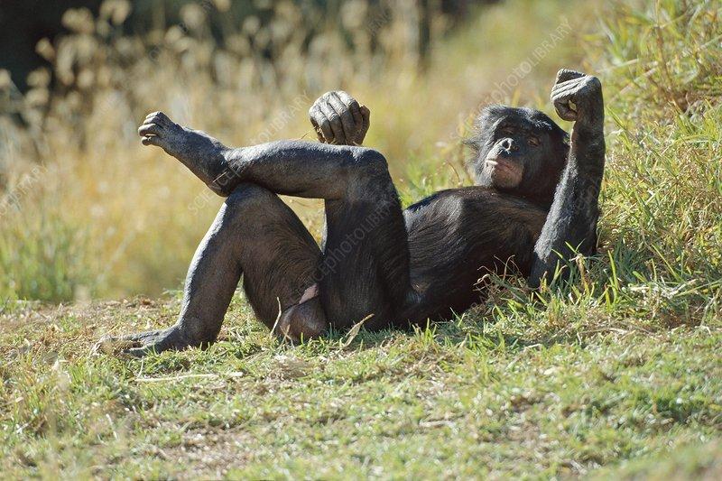 Bonobo male resting, Pan paniscus, Congo
