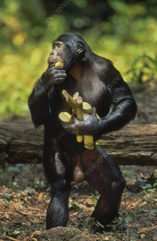 Bonobo male gathering sugar cane