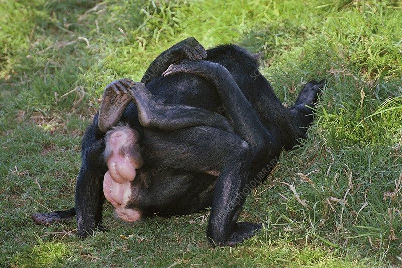 Bonobo females rubbing genitals, Congo