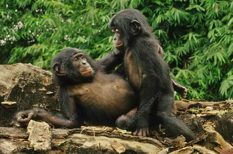 Bonobo juveniles play-mating, Congo