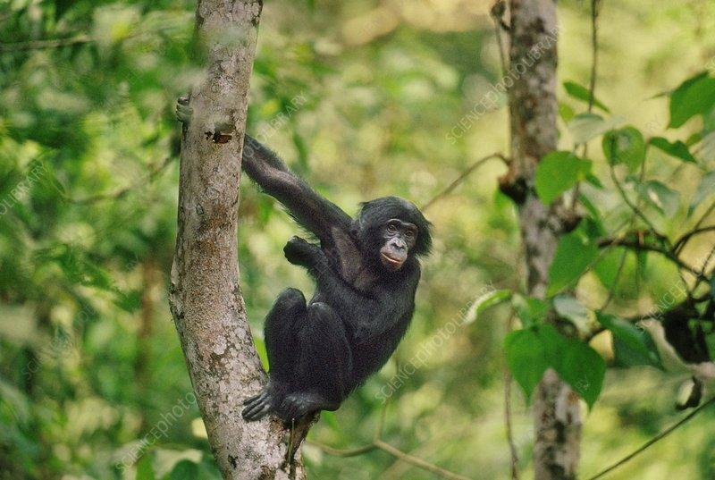 Bonobo in tree, Pan paniscus