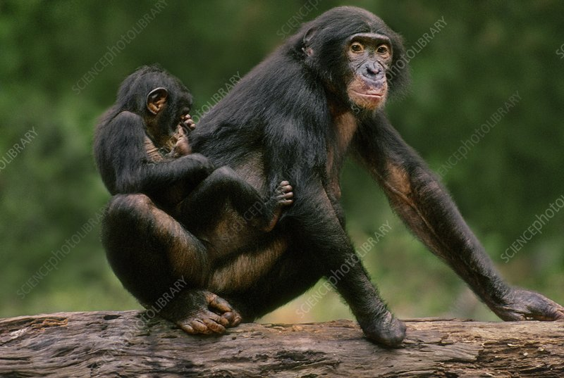 Bonobo female with fingers lost to snare