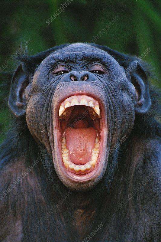 Bonobo grimacing, Pan paniscus, Congo