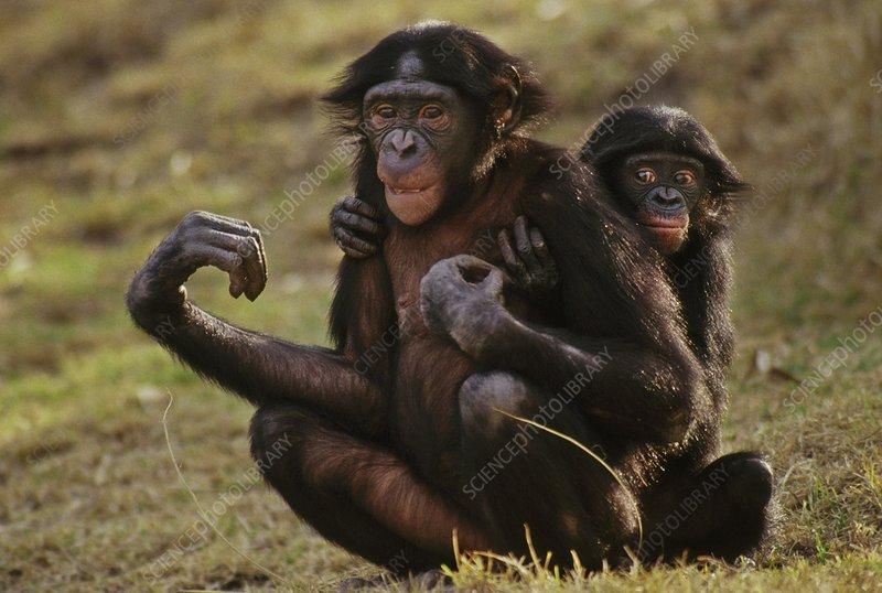 Bonobo with young, Pan paniscus
