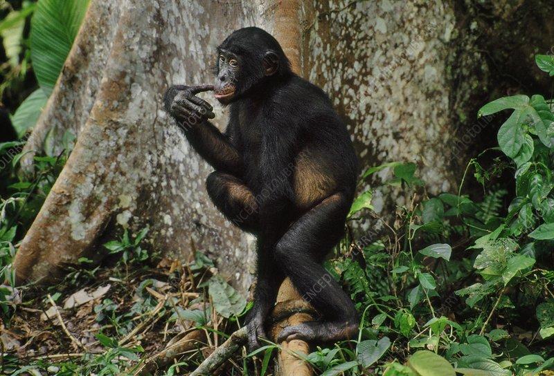 Juvenile male bonobo at tree base