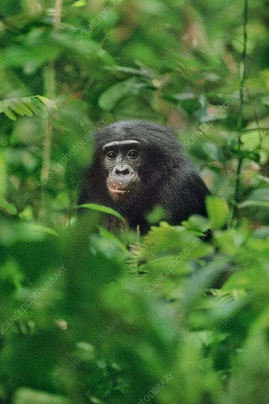 Bonobo in undergrowth, Pan paniscus