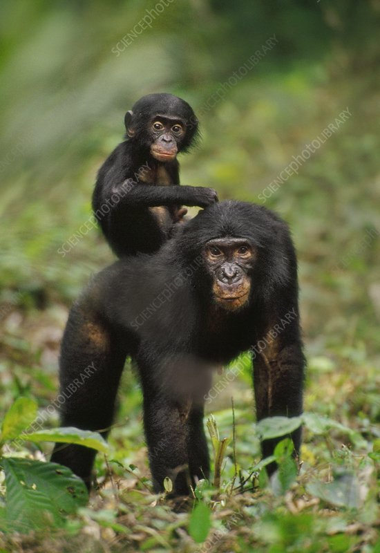 Bonobo mother with infant, Pan paniscus