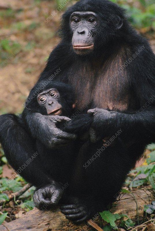 Bonobo mother with infant, Congo