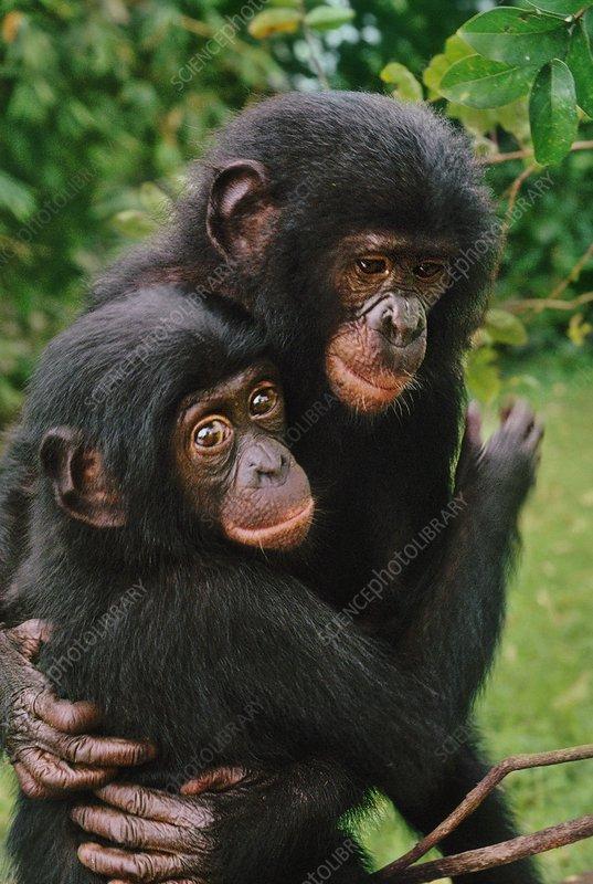 Orphaned bonobos embracing, Pan paniscus