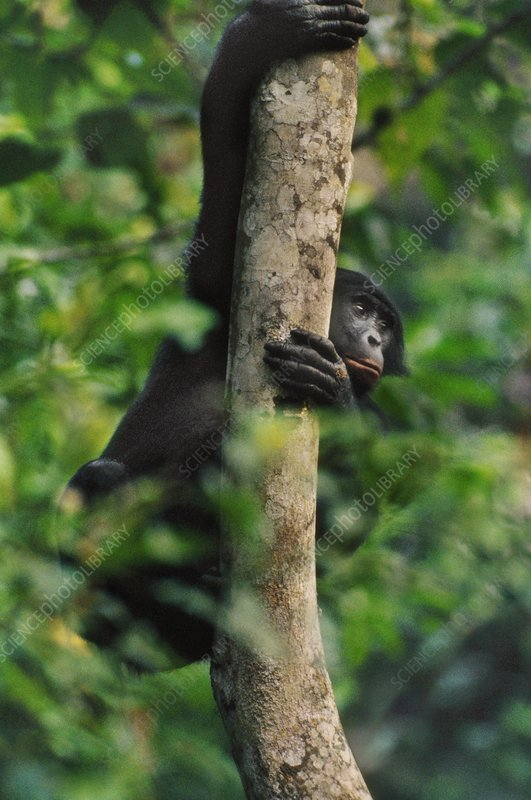 Bonobo in tree, Pan paniscus, Congo