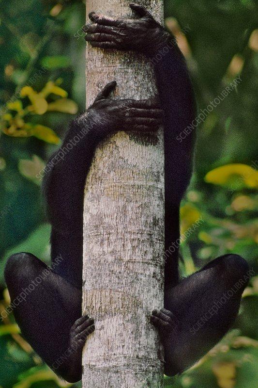 Bonobo in tree, Pan paniscus, Congo