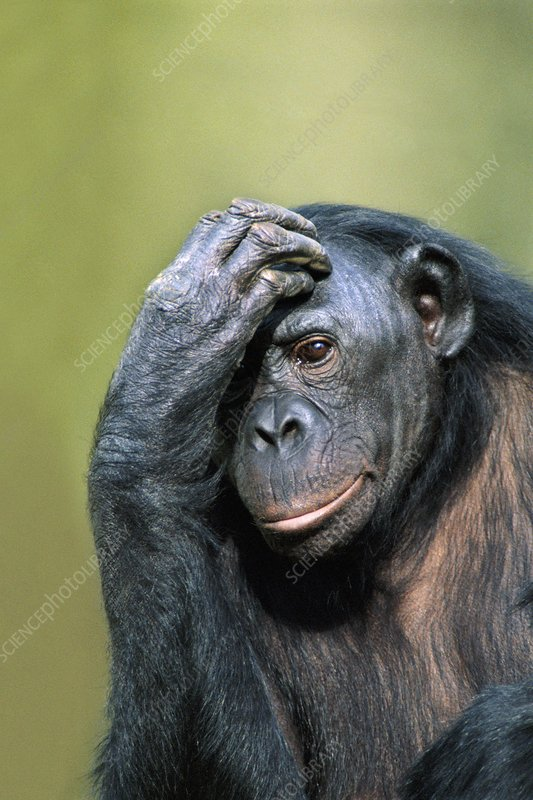 Bonobo female, Pan paniscus, Congo