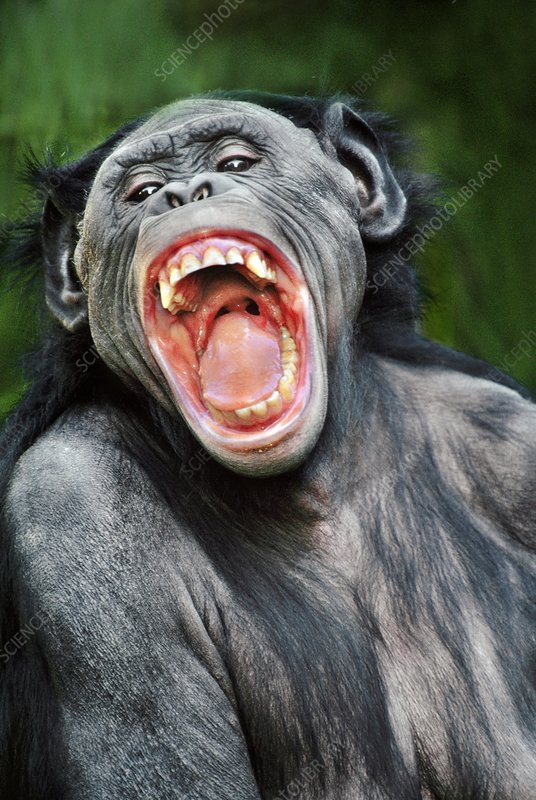 Bonobo female snarling, Pan paniscus